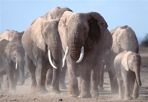 Multi generational herd of African elephants