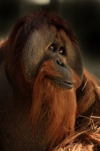 Wild orangutans are under threat from loss of habitat and the resulting conflict with humans