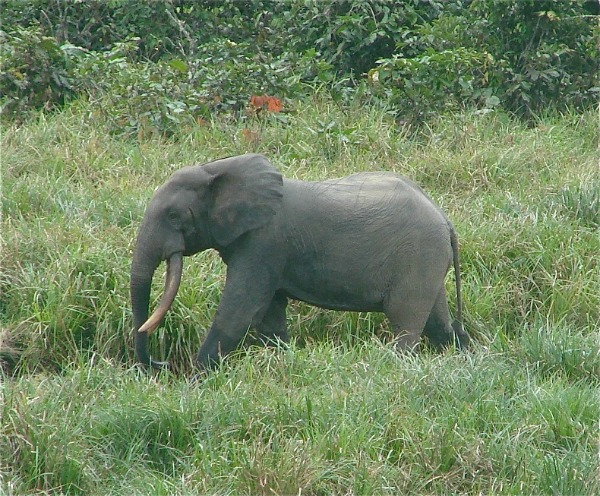 Forest elephants are being poached at unprecedented rates