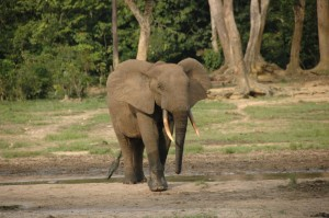 Male Forest Elephant