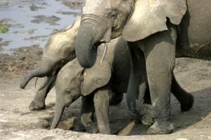 Forest elephant juveniles