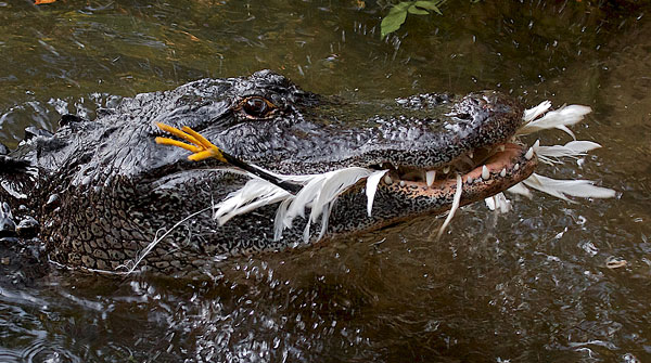 An American alligator successfully catches an egret after using a tool as a lure
