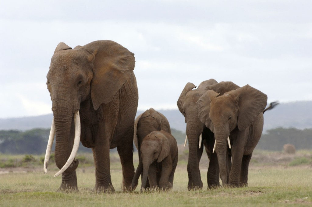 We must act now to save African elephants.